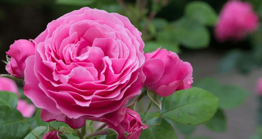 Comment se débarrasser des pucerons sur un rosier