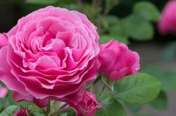 Comment se débarrasser des pucerons sur un rosier ?